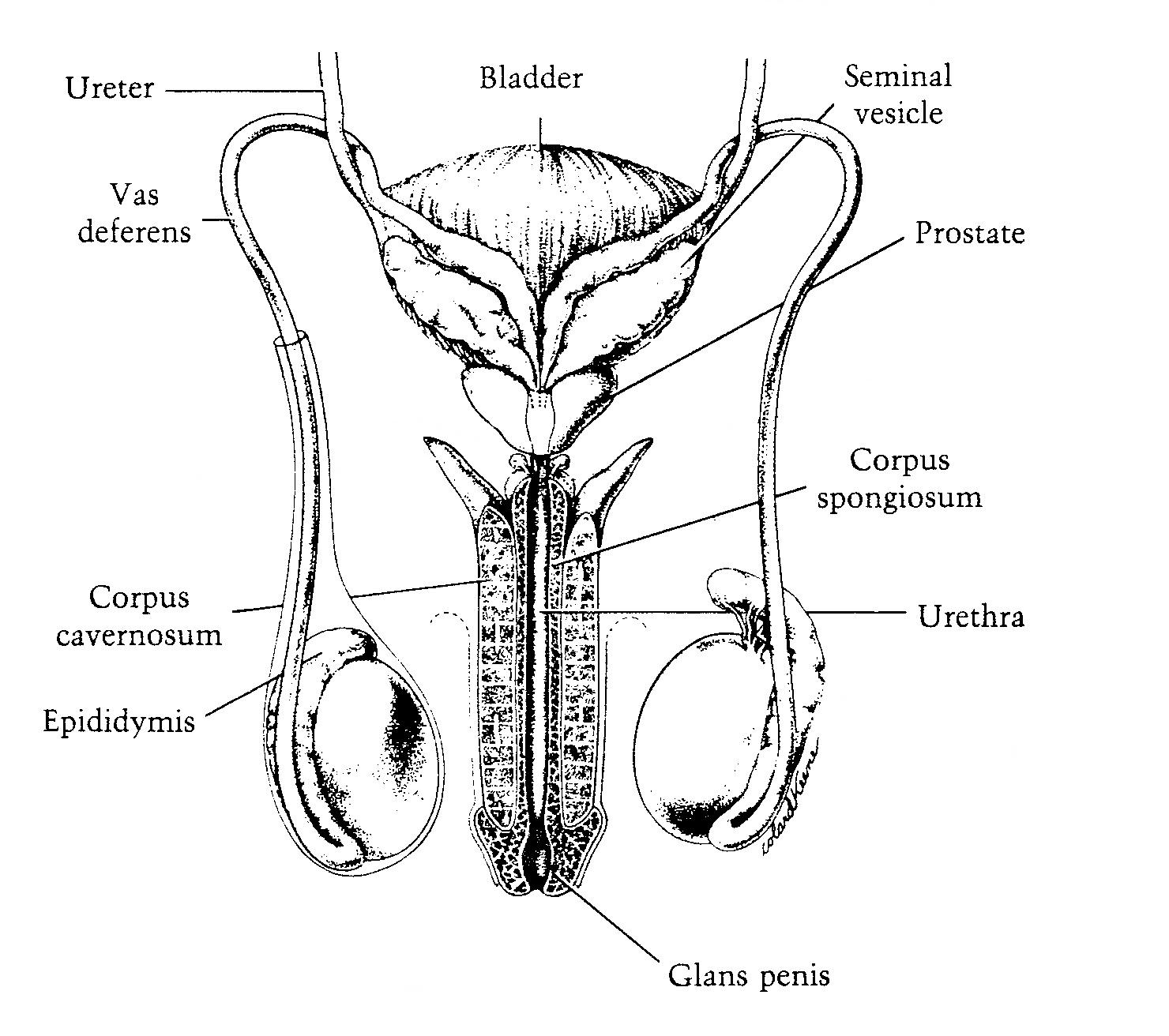 female urethra diagram